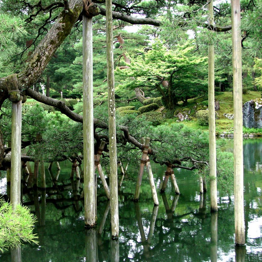 Haubanage d'un pin dans un jardin. Kanazawa, Japon.